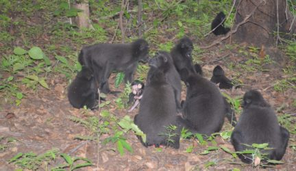 Black Macaque Monkey group